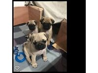KC registered pug puppies ready end July
