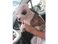 American bulldog female puppy