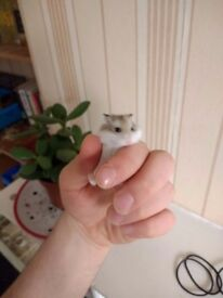Roborovski hamsters for sale £5 a hamster (normally £7-9 in stores)