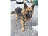 Lovely German Shepard for free