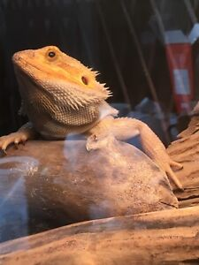 Citrus bearded dragon