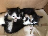 Two gorgeous black and white kitten ready at the weekend.