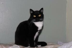 "Adult Female Cat - Domestic Short Hair (Black & White): ""Babs"""