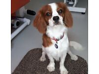 King Charles Spaniel 9 Months old - Male