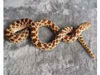 female western hognose