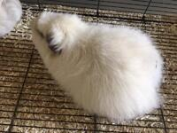 Giant Cuy Guinea Pigs looking for good home