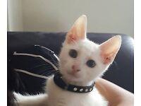 Domestic short hair kitten(full white)