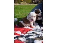English Bulldog Pups 2 R&W Males Huu CLEAR