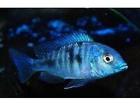 BLUE DOLPHIN MALAWI CICHLID 2.5 INCH £6 EACH OR 3 FOR £15