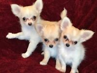 Adorable longcoat chihuahua puppies for sale