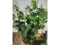 Red wine grape vine