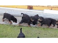 *****rottweiler pups for sale*****