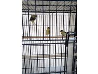 Baby canaries for sale