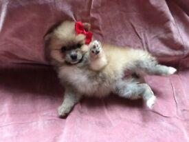 Kc Teddy Bear Pomeranian