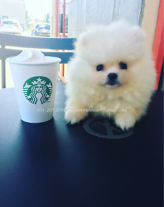 Teacup + Toy Pomeranian Puppies, Bear face European style