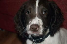 Springer Spaniel Pup (Read Description)