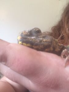 No bugs or Rodents! Tame Uromastyx Spiny Tailed Lizard for Sale!