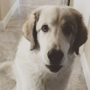 Great Pyrenees - Perfect for Farm or Large Property