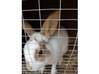 Male rabbit for sale 12 months old