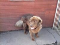 BROWN NEWFOUNDLAND DOG FOR SALE