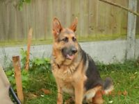 Love;y German Shepard loking for new home