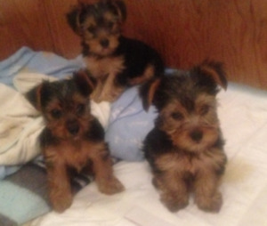 Three Yorkshire Terrier Puppies FOR SALE!