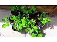 13 small pots of Peas (Meteor) veg plants