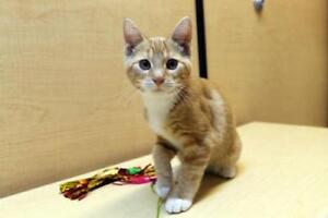 "Baby Male Cat - Domestic Short Hair-Tabby: ""Bambi"""
