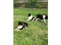 Beautiful Sheltie puppies for sale