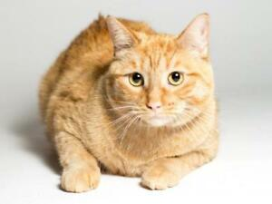 "Young Male Cat - Domestic Short Hair (Orange): ""Theodore"""