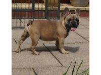 BLUE SABLE FRENCH BULLDOG MALE