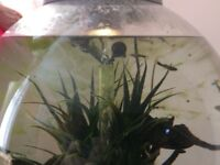 Assorted guppies free