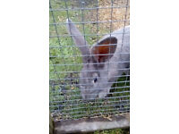 Continental Giant rabbit babies for reservation