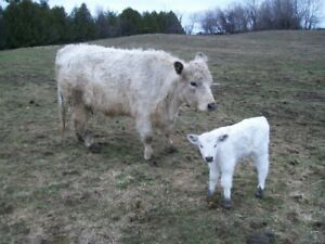 white galloway cow/calf