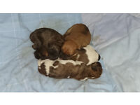 gorgeous xbreed puppies for sale