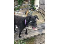 Loving Home Needed - 8 year old female Patterdale - Perfect Paws Dog Sanctuary