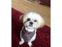 Shih tzu x malteese 1 year old bitch for sale