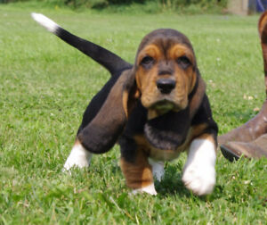 Gorgeous Quality CKC registered Basset Hound Puppies