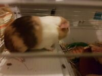 Male lone guinea pig for sale
