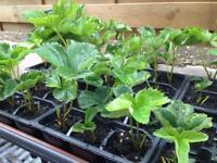 Straweberry plants