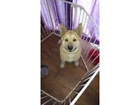 9 month old male akita