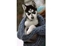 Pup sibarian husky pup one left blue eyes
