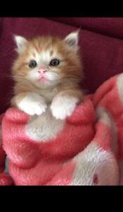 AdorableRagdoll Cross Kittens
