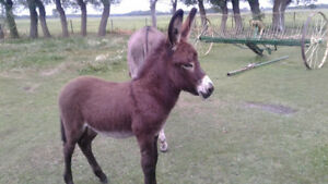 Jack Donkey Colt