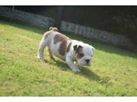 English Bulldog Pups for sale Guy Clear
