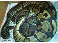 Ball pythons 100% het pied