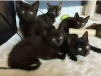 5 black kittens for sale Turkish angora (shepherds bush)