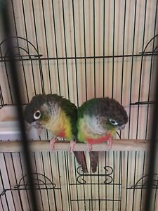 Green conures in need of a new home.