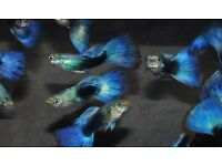 6x Guppies for sale Male Guppies Female Guppies live tropical fish