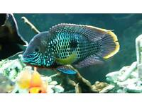 Large male green terror for sale
